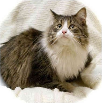 Polydactyl/Hemingway Cat for adoption in Howell, Michigan - Fred