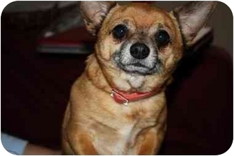 Chihuahua Mix Dog for adoption in Randolph, New Jersey - Rico