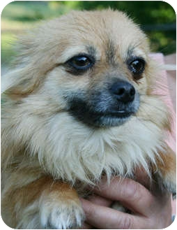 Yorkie, Yorkshire Terrier/Chihuahua Mix Dog for adoption in Staunton, Virginia - Bitsy