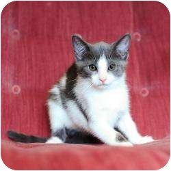 Domestic Shorthair Kitten for adoption in Ft. Lauderdale, Florida - Mary