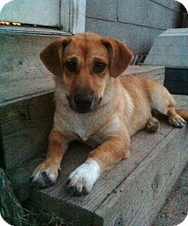 Corgi/Shepherd (Unknown Type) Mix Dog for adoption in Baton Rouge, Louisiana - Ginger