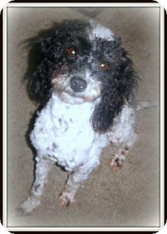 Poodle (Miniature) Dog for adoption in Baton Rouge, Louisiana - Muppet