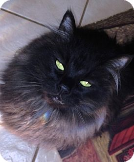 Maine Coon Cat for adoption in Davis, California - Gino