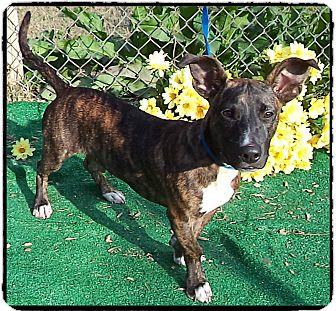Rat Terrier Mix Puppy for adoption in Marietta, Georgia - SOONER - adopted @ off-site