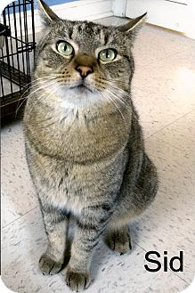 Domestic Shorthair Cat for adoption in Medway, Massachusetts - Sid