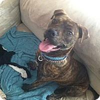 Adopt A Pet :: Max - Alexandria, VA