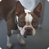 Adopt A Pet :: Rookie - North Hollywood, CA