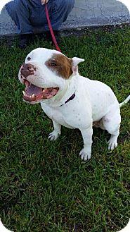 American Pit Bull Terrier Mix Dog for adoption in Jacksonville, Florida - Hulk