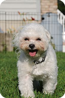 Maltese Dog for adoption in Blairstown, New Jersey - Toby