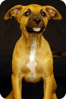 Boxer/German Shepherd Dog Mix Puppy for adoption in Newland, North Carolina - Maui
