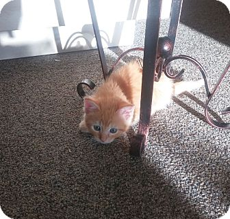 Domestic Shorthair Kitten for adoption in Huntsville, Alabama - Pumpkin Spice