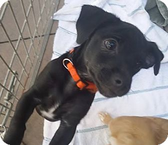Beagle/Dachshund Mix Puppy for adoption in Inland Empire, California - BUG