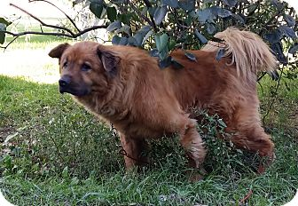 Chow Chow Mix Dog for adoption in Holland, Michigan - Rusty