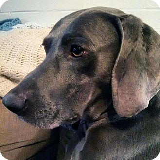 Weimaraner Dog for adoption in Grand Haven, Michigan - Pierre