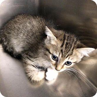 Domestic Shorthair Kitten for adoption in Jackson, Georgia - Iris