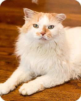 Domestic Longhair Cat for adoption in Chicago, Illinois - Don Juan