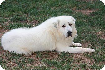 Great Pyrenees Dog for adoption in Charlotte, North Carolina - Brutus