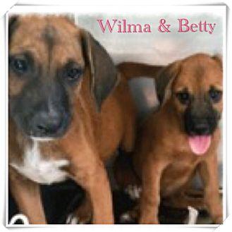 Terrier (Unknown Type, Medium)/Dachshund Mix Puppy for adoption in Brick, New Jersey - Betty
