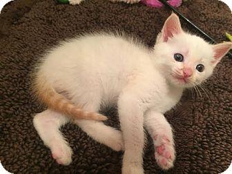 Siamese Kitten for adoption in Gainesville, Florida - Cecil