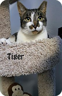 Domestic Shorthair Cat for adoption in Redwood City, California - Tiger
