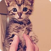 Adopt A Pet :: Louisa Mew Allcat - St. Louis, MO