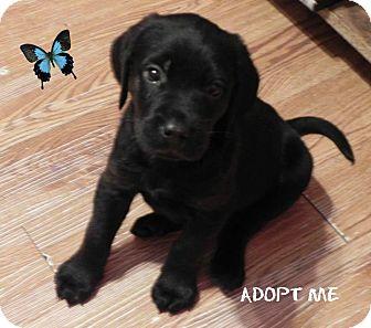 Labrador Retriever/Doberman Pinscher Mix Puppy for adoption in Savannah, Georgia - Walsh