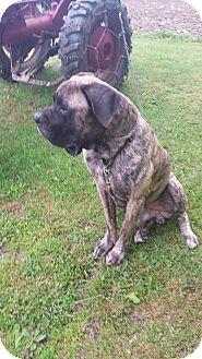 Great Dane/Mastiff Mix Dog for adoption in Flintstone, Maryland - Lennon