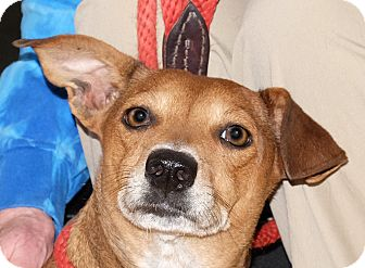 Dachshund/Chihuahua Mix Dog for adoption in Spokane, Washington - Mabel Rose