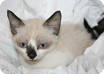 Siamese Kitten for adoption in Buford, Georgia - Hiccup