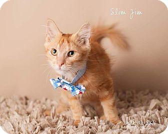 Domestic Shorthair Kitten for adoption in Scottsdale, Arizona - Slim Jim