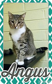 Domestic Shorthair Cat for adoption in Edwards AFB, California - Angus