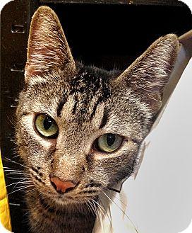 Domestic Mediumhair Cat for adoption in Vista, California - Tally-Ho & Sampson
