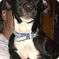 Adopt A Pet :: Layka - Brick, NJ