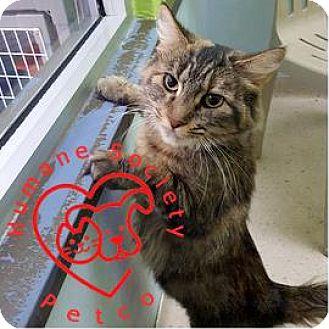 Domestic Shorthair Cat for adoption in Janesville, Wisconsin - Rosie