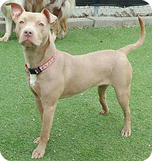 American Pit Bull Terrier/Terrier (Unknown Type, Medium) Mix Dog for adoption in St. Clair Shores, Michigan - Cindy Lou