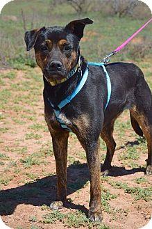 Rottweiler/Labrador Retriever Mix Dog for adoption in Middlebury, Connecticut - Zenzi