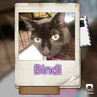 Domestic Shorthair Cat for adoption in Walnut Creek, California - Bindi