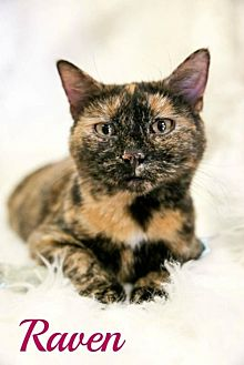 Domestic Shorthair Cat for adoption in Knoxville, Tennessee - Raven Female