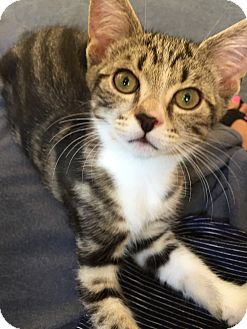 Domestic Shorthair Kitten for adoption in Woodbine, New Jersey - Mars