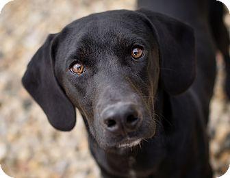 Labrador Retriever/Hound (Unknown Type) Mix Dog for adoption in Brattleboro, Vermont - George