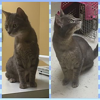 Domestic Shorthair Cat for adoption in Pompano Beach, Florida - Grayson