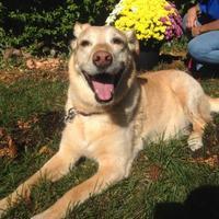 Labrador Retriever Mix Dog for adoption in Blackstock, Ontario - Brandy
