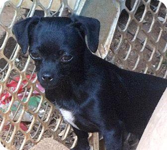 Pug/Chihuahua Mix Dog for adoption in Anderson, South Carolina - Bonnie