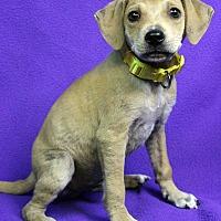 Adopt A Pet :: Batman - Westminster, CO