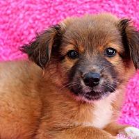 Adopt A Pet :: Gov'ner - Los Angeles, CA
