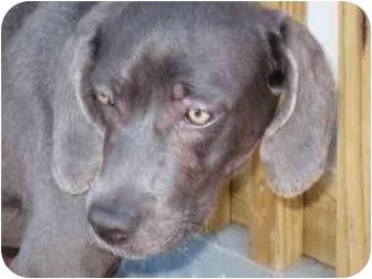 Weimaraner Mix Dog for adoption in Marion, North Carolina - Aspen