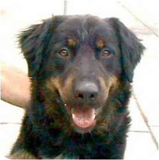 Bernese Mountain Dog/Rottweiler Mix Dog for adoption in Berkeley, California - Windsor