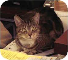 Domestic Shorthair Cat for adoption in Milton, Massachusetts - Kitty