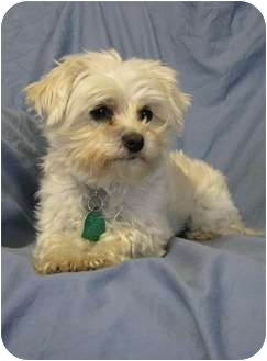Maltese Dog for adoption in Wichita, Kansas - Gidget