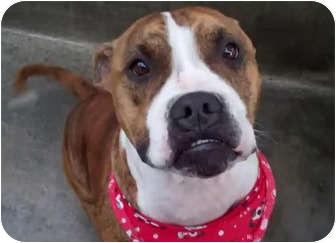 Bulldog/Pit Bull Terrier Mix Dog for adoption in Los Angeles, California - Lilo dog-friendly VIDEOS